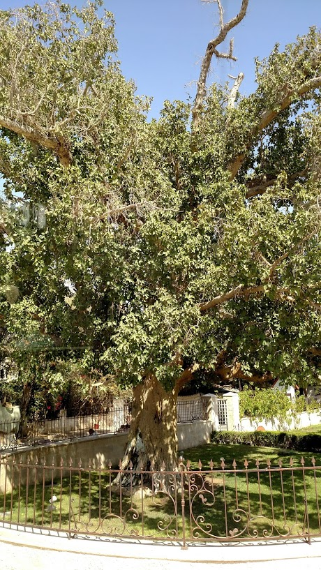 sycamore tree jericho day eight