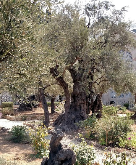 garden of geth olive trees day six